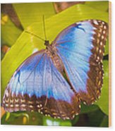 Common Blue Morpho Wood Print