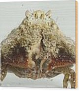 Common Box Crab Wood Print