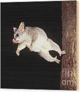 Common Brush-tailed Possum Wood Print