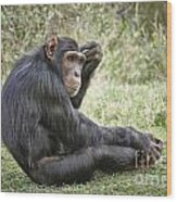 Common Chimpanzee  Pan Troglodytes Wood Print