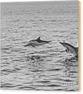 Common Dolphins Leaping. Wood Print