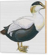 Common Eider Wood Print by Anonymous