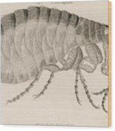 Common Flea (pulex)           Date 1810 Wood Print