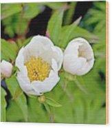 Common Garden Peony (paeonia Lactiflora) Wood Print