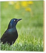 Common Grackle Wood Print by Christina Rollo
