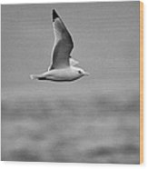 Common Gull Seagull In Flight Larus Canus Laridae On Atlantic Ocean Between Rathlin Island And Bally Wood Print