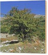 Common Hawthorn (crataegus Monogyna) Wood Print