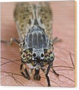 Common Horse Fly Wood Print by Science Photo Library