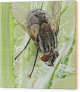 Common House Fly 0.9x Wood Print