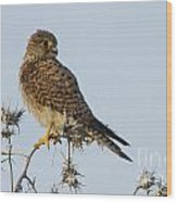 Common Kestrel Falco Tinnunculus 3 Wood Print