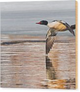 Common Merganser In Flight Wood Print