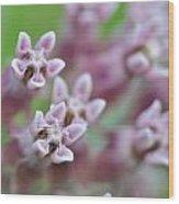 Common Milkweed Wood Print