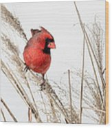 Common Northern Cardinal Square Wood Print