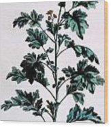Common Or Garden Feverfew Wood Print