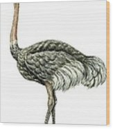 Common Ostrich Wood Print
