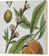 Common Peace Persica Vulgaris Wood Print