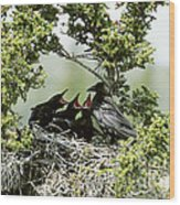Common Raven Feeding Young In Nest Wood Print