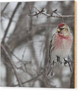 Common Redpoll - Sizerin Flamme - Acanthis Flammea Wood Print