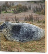 Common Seal Resting On The Beach Wood Print