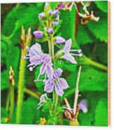 Common Speedwell On Skyline Trail In Cape Breton Highlands National Park-nova Scotia  Wood Print