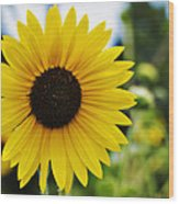 Common Sunflower Wood Print