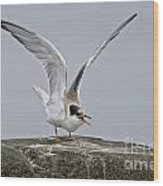 Common Tern Pictures 34 Wood Print