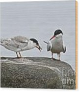 Common Tern Pictures 39 Wood Print