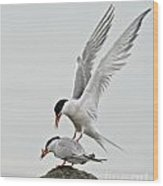Common Tern Pictures 40 Wood Print