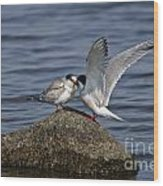 Common Tern Pictures 48 Wood Print