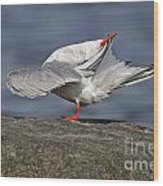 Common Tern Pictures 51 Wood Print