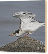Common Tern Pictures 67 Wood Print