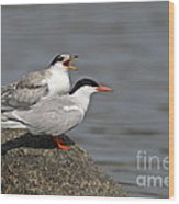 Common Tern Pictures 76 Wood Print