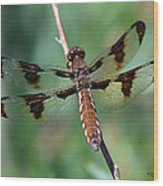 Common White-tail Dragonfly Wood Print