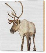 Complete Caribou Reindeer Isolated Wood Print