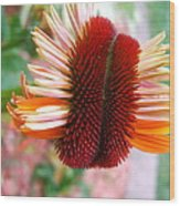 Coneflower Bloom Unspiraling Wood Print