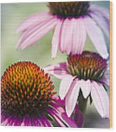 Coneflower Jewel Tones - Echinacea Wood Print