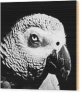 Congo African Grey Head Shot Wood Print