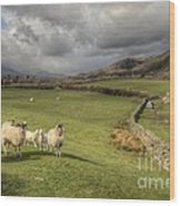 Coniston Sheep  Wood Print