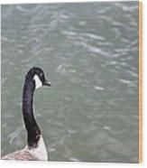 Canadian Goose Contemplating A Swim  Wood Print
