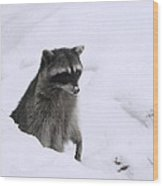 Coon Needs Snowshoes Wood Print