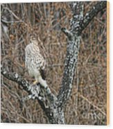 Coopers Hawk 0741 Wood Print