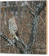 Coopers Hawk 0745 Wood Print