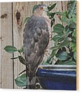 Coopers Hawk 1 Wood Print