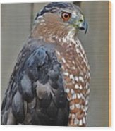 Coopers Hawk 3 Wood Print by Helen Carson
