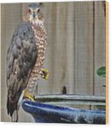 Coopers Hawk 4 Wood Print by Helen Carson