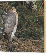 Coopers Hawk In Predator Mode Wood Print