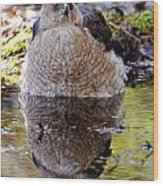 Coopers Hawk Pictures 112 Wood Print