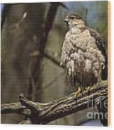 Coopers Hawk Pictures 124 Wood Print
