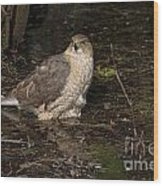 Coopers Hawk Pictures 135 Wood Print