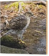 Coopers Hawk Pictures 61 Wood Print